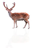 Deer isolated. On a white background Royalty Free Stock Images