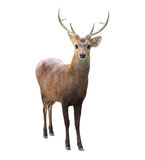 Deer isolated white background. Face of deer isolated white background Royalty Free Stock Photos