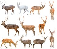 Deer isolated on white background. Male deer have antler isolated on white background Royalty Free Stock Photo