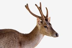 Deer isolated on white background royalty free stock photos