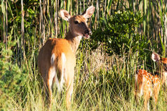 Deer and its doe looking back royalty free stock images