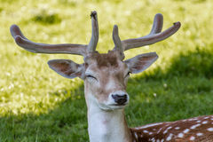 Deer. A deer with its eyes closed in a green grassed field stock photo