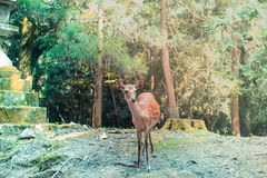 Deer in Japanese Shrine. Spotted a young deer in Kasuga-taisha, Nara Royalty Free Stock Photos