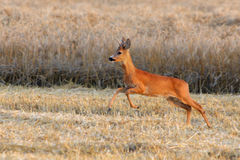 Deer jump on field Stock Image