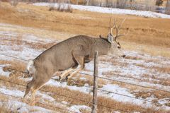 Deer jumping fence royalty free stock images