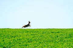 Deer jumps in a field Stock Photography