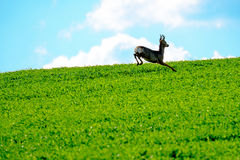 Deer jumps in a field Royalty Free Stock Image