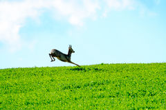 Deer jumps in a field Stock Photo