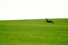 Deer jumps in a green field Stock Images
