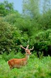 Deer in the jungle Stock Photography