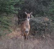 Deer in jungle Royalty Free Stock Images