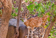 Deer in jungle Stock Images