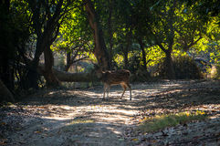 Deer in the jungle Stock Image