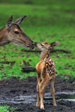 Deer with just born calf royalty free stock photos