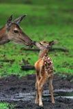 Deer with just born calf Royalty Free Stock Photos