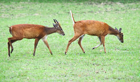 Deer in Khao Yai national park Stock Photography