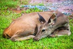 Deer at Khao Yai National Park Royalty Free Stock Photos