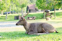 Deer at Khaoyai national park in Thailand Royalty Free Stock Images