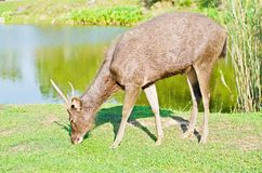 Deer at Khaoyai national park in Thailand Royalty Free Stock Photo