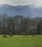 Deer in Killarney National Park Royalty Free Stock Photo