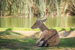 Deer on the lack Royalty Free Stock Images