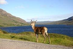 Deer at the Lake Stock Image