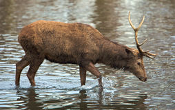 Deer in lake Stock Photos