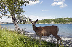 Deer on a lake Royalty Free Stock Images