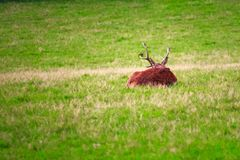 Deer with large antler sits on the forest floor royalty free stock images