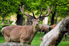 Deer with large antlers in forest. Male Stag. Male deer with large anters in wooded forest Royalty Free Stock Photography