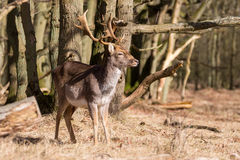 Deer with large rack Royalty Free Stock Image