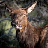 deer laughing Στοκ Φωτογραφίες
