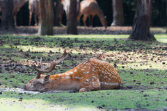 Deer laying forest Royalty Free Stock Photography