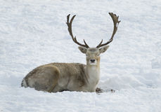 Deer laying in snow. With his eyes closed with antler royalty free stock photo