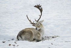 Deer laying in snow cleaning his fur Royalty Free Stock Image