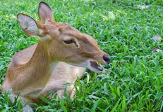 A Deer lays down on the green field royalty free stock photography