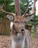 Deer. Ld deer in the forest park Stock Images