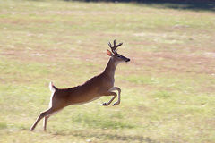 A deer leaps in the air. A whitetail leaps in the air while seeking the shelter of the trees Royalty Free Stock Images