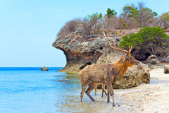The deer leaves the sea on coast Stock Photography