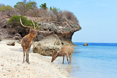 The deer leaves the sea on coast Royalty Free Stock Photo