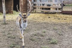 The deer left the house and walked. Behind the sheep enclosures. A young deer. The deer left the house and walked. Behind the sheep enclosures royalty free stock photos