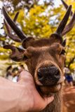 Friendly deer that likes to be petted in nara stock images