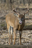 Deer licking its nose Royalty Free Stock Photography