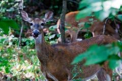 Deer licking nose Stock Image
