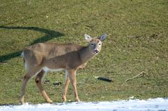 Deer Licking Nose. A young deer looks into the camera while licking it's nose Royalty Free Stock Photo