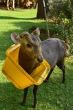 The Deer and Lid of Trash Can. This deer is so naughty animal royalty free stock photos