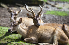 Deer lie on a grass Royalty Free Stock Images