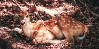 White-tailed doe lying down in woods. Deer lies in the forest Royalty Free Stock Photos