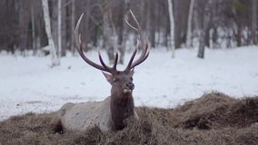 Deer lies on the hay in winter and eat stock footage
