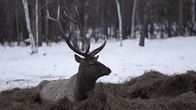 The deer lies on the huy in winter stock video